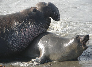 Source: http://www.sanctuarysimon.org/photos/photo_info.php?photoID=3488&search=kw&speciesSearchTerm=&keywordSearchTerm=elephant%20seal&locationSearch=&s=0&page=1