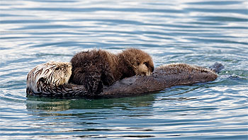 Source:  From Wikipedia commons (http://commons.wikimedia.org/wiki/File:Sea_otter_nursing02.jpg)